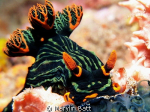 Nembrotha kubaryana by Marylin Batt 